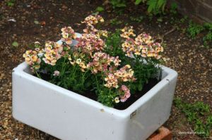 Front Garden Herb & Plant sale 7 - Cherry Menlove